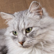 Gray cat — Stock Photo #8316912