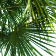 Palm leaf — Stock Photo #8564729