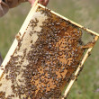 Swarm of bees - Stock Photo