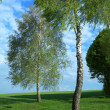 Two birches — Stock Photo #8565978