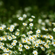 White flowers -  