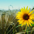 Royalty-Free Stock Photo: Solitute sunflower