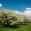 Apple tree in blossom — Stock Photo #8568298