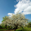 Apple tree in blossom — Stock Photo #8568311
