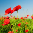 Poppies in field — Stock Photo
