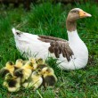 Goslings on grass — Stock Photo