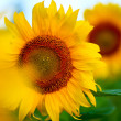 Bright yellow sunflowers — Stock Photo