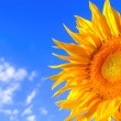 Sunflower on background — Stock Photo