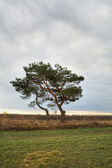 Lonely pine-tree — Stock Photo