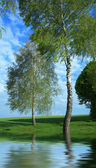 Two birches — Stock Photo