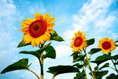 Bright sunflowers — Stock Photo