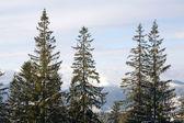 Winter forest in mountains — Stok fotoğraf