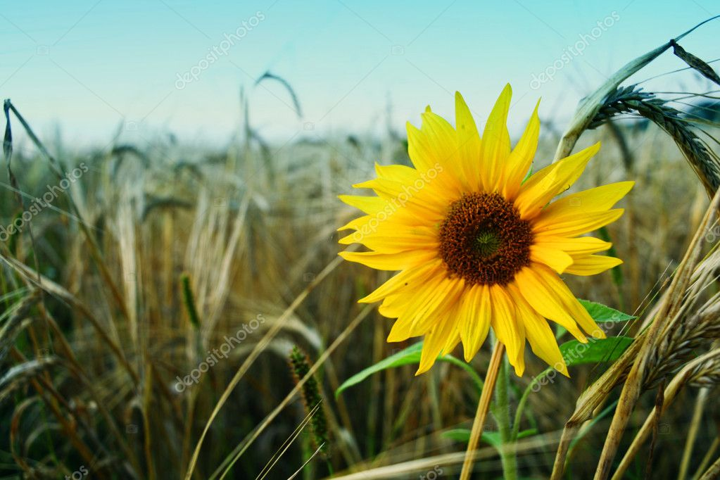 An image of solitude sunflower on a field — Stock Photo #8567466