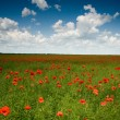 Field with red poppies — Foto de Stock