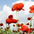 Royalty-Free Stock Photo: Red poppies