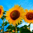Bright sunflowers — Stock Photo