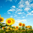 Field of sunflowers — Stock Photo #8572431