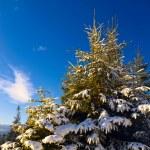 abeto verde e céu azul — Foto Stock