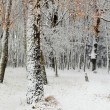 First snow in a forest — Stock Photo