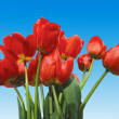 Tulips on blue — Stock Photo
