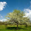 Apple tree in blossom — Stock Photo #8572954
