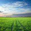 Sunset over green crops — Stok fotoğraf