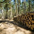 Cut down and piled pine logs - Stock Photo