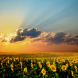 Field of sunflowers — Stock Photo #8573604