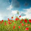 Field with red poppies under sky -  