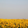 Image with sunflowers — Foto Stock