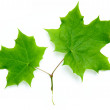 Bright green maple leaves — Stock Photo
