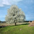 Blooming tree — Stock fotografie