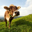 Stock Photo: Cow on a field