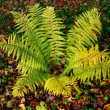 Fern leaves - Stock Photo