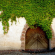 Wall of ivy — Stock Photo #8575980