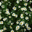 Many flowers - 