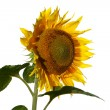 Sunflower. Isolated on white — Stock Photo