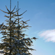 Fir-trees and sky — Stock Photo