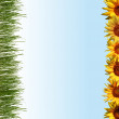Line of sunflowers — Stock Photo