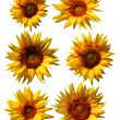 Isolated sunflowers — Stock Photo