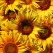 Sunflowers close up — Stock Photo