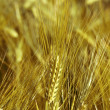 Gold oat - 
