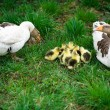 Goslings on grass - Stock Photo