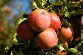 Dew on apples — Stock Photo
