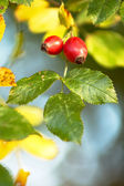 Red hips — Stock Photo