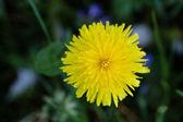 Lonely yellow dandelion — Stock Photo