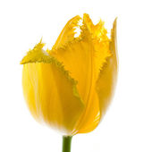 Tulip — Stockfoto