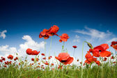 Field with poppies under dark sky — Stock Photo