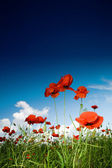 Field with poppies under sky — Stock Photo