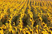 Background of sunflowers — Stock Photo